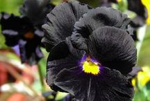 """Black Garden / A list of """"black"""" flowers I want to grow. / by Jackie LP"""