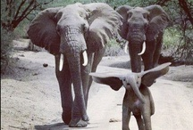 Elephants♡ / I have an obsession with anything elephant.