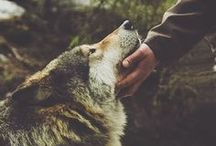 Wolves Admiration / In real life, wolves will do anything to avoid contact with mankind.