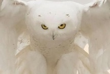 Owls~Yes, I love Owls~Owls~Owls / by Tracy Honeycutt
