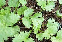 Gardening - Fruits, Vegetables & Herbs / by Kristi Challenger