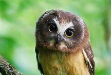 Pöllöt Owls HuhUUUUUuuuuuuuuUUUUUU