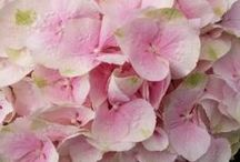 GEORGOUS HYDRANGEAS / by Anick Tharel