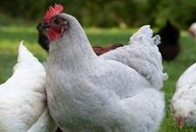 Here Chicky Chicky Chicky / All chickens. All the time. Chickens, coops, runs, hacks, tips, tricks and more.