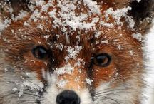 Animals Fox