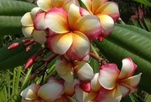 Plumeria Collection by color