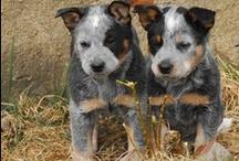 ACD / Blue_Red Heeler & Catahoulas / Best dogs ever! / by Jo Escher
