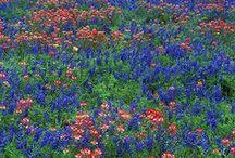 Texas Wildflowers  / by Linda Lou