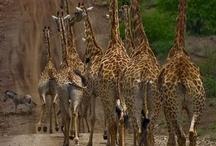 Giraffes are fun