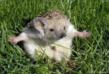 Animals:  Hedgehogs