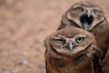Animals:  Owls