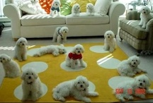 Puppy Love  (Bichons and more)  / Sugar my 5 year old Malti-chon  Maltese and Bichon mix