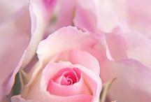 """Rosas. """"La flor que habla el lenguaje de los sueños"""". / Entre  el rosa , el  blanco, el  fusha, el  verde shatre  hay un  largo   trecho!"""