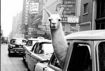 Alpacas and Llamas and Goats Oh my! / by Angela Clark-Praxis