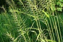 Native Grasses and Sedges