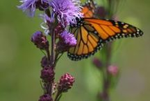 Monarchs and Native Plants / Native plants that support monarch butterflies