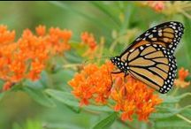 "Milkweed for Monarchs / Monarch butterflies need native Milkweed to survive. (Plants in the Asclepias genus). Plant some in your yard - we have a beautiful selection of Asclepias plants in 3"" pots. Something for just about any location."