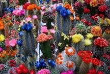 Cactus and Succulent Flowers / Vibrant, beautiful flowers