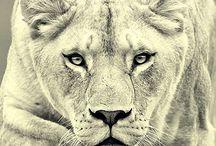 Team Lioness