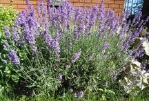 All Things...Lavender / The most delightful, fragrant, delicate flowering plant on earth... / by Bev Wittig