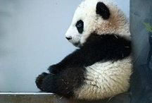 panda time
