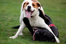 Dog Play / Dogs and Dogs and Animals with Dogs