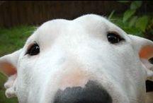 Bull Terrier / My favourite dog