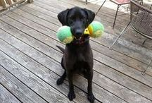 Adventures with Sadie / Meet Sadie... our rambunctious, silly, sweet, ever-loving, always affectionate black lab.