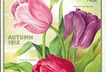 Tulipas - Tulips