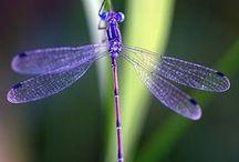 Libélulas - Dragonflies