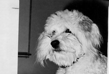 Vintage Cockapoo / Vintage photos & articles about Cockapoos. / by Cockapoo Place