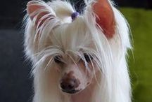 Chinese Crested's and Others