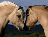 Fantastic Fjord Horses / My favorite horse breed- because I have one!