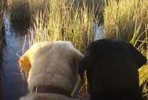 I love labs and bull dogs / by Karen Ladjimi