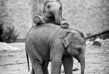 Animals ~ Elephants