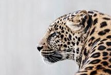 Animals ~ Big Cats