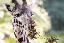 Animals ~ Giraffes  / by Janice Elaine