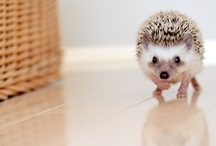 Hedgehogs Love