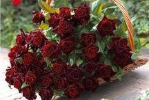 Roses du jardin / Willemse propose de beaux rosiers pour les jardiniers.