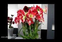 Plantes Willemse en vidéo / Retrouvez des vidéos de plantes de Willemse : jacinthes, lis, amaryllis, bégonias... Nos vidéos pourront vous donner des idées pour votre jardin...