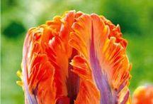 Magnifiques Tulipes  / Sélections de nos plus belles tulipes...