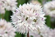 Pureté d'un jardin blanc / Les fleurs de couleur blanche symbolisent la pureté, la consolation, l'innocence, la naïveté, la joie, mais aussi le raffinement et l'élégance. La pureté du blanc évoque la beauté et la perfection.