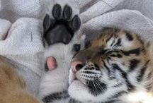 bengal / Tiger