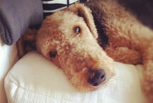 Must Love Dogs / Gladys the Airedale and other adorable animals! / by Filmore Clark