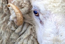 Animals: Sheep, Lambs, Goats, Deer, Horned, Etc. / by Kathi White