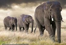 ELEPHANT / by Christine Elliott