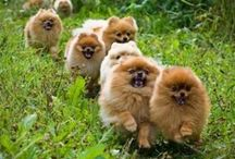 For the love of Poms