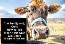 Family Milk Cow Basics / by The Browning Homestead