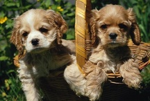 I Love Cocker Spaniels! And Cavaliers! / by Ann Speck