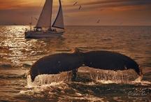 Walvis / Whale